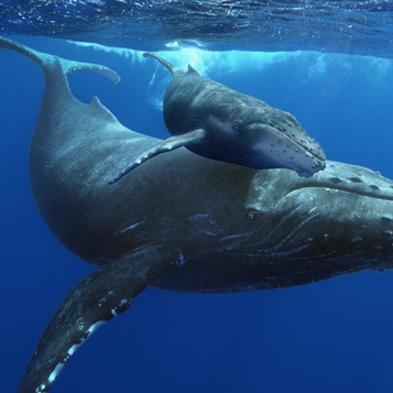 Humpback Whales picture